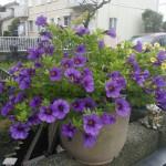 ミリオンベル(紫)